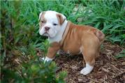 CUTE ENGLISH BULL DOG PUPPY  FOR LOVING HOME INTERESTED